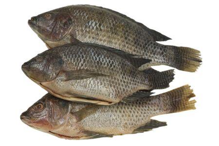Fresh tilapia fish photo