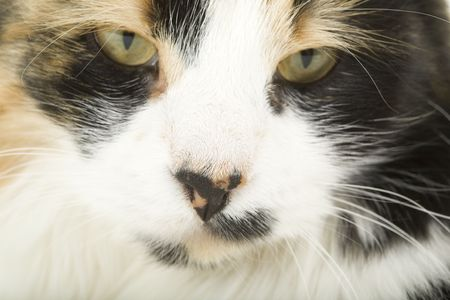 nose close up: Three-colored cat portrait, focus on nose; close up view