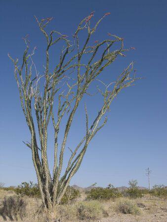 ocotillo: Blooming Ocotillo Cactus against Spring Blue Sky