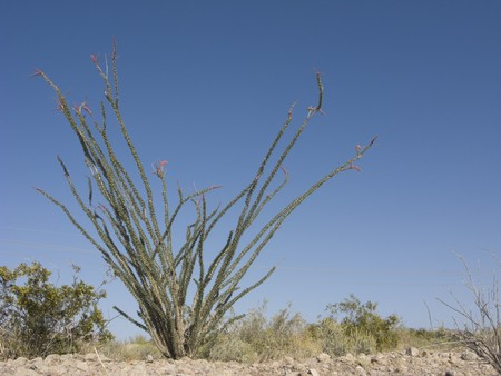 ocotillo: Blooming Ocotillo Cactus; on blue sky