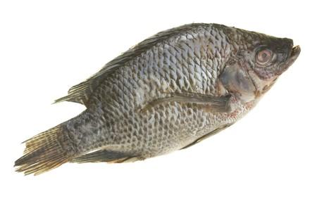 Fresh tilapia fish; isolated on white background photo