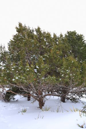 White sky and snow around green spruce on stormy Winter day Stock Photo - 8841135