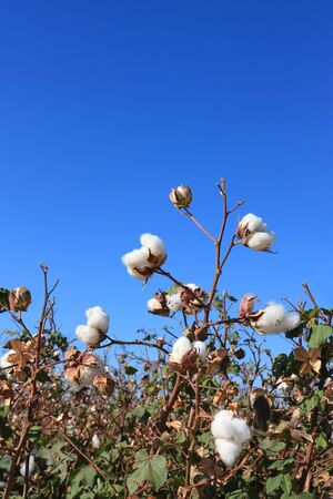 cotton plant: Ripe Cotton Buds ready for harvesting