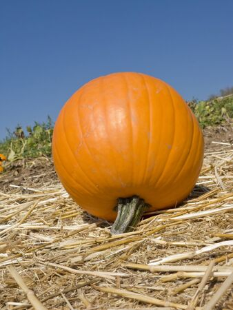 Orange ripe pumpkin on hay in autumn farmers field Stock Photo