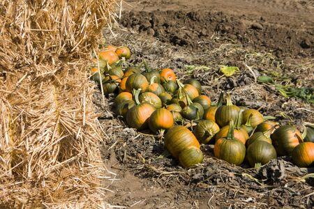 Pumpkins in farmers field photo