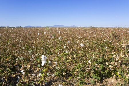 cotton crop: Cotton Field Ready for Harvesting in Late Fall