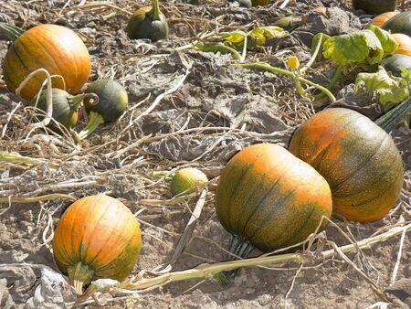 dried gourd: Orange and green ripe pumpkins in autumn farmers field Stock Photo