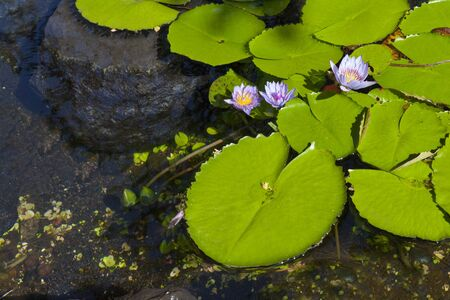 Hawaiian Pink Lotus Lily Flowers in Pond Stock Photo - 13530940