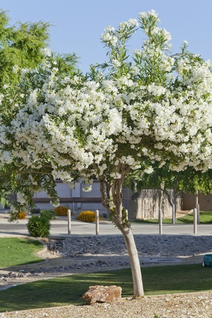 Arizona desert backyard with white Oleander 스톡 콘텐츠