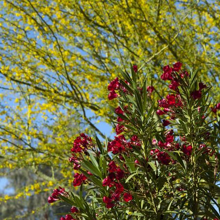 hardy: Hardy Red Oleander over yellow Palo Verde