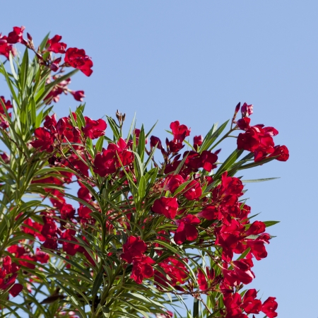 hardy: Blooming Hardy Red Oleander over clear blue sky