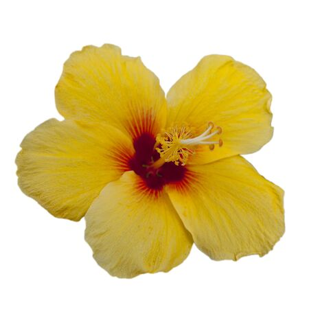 Yellow Hibiscus - Official state flower of Hawaii Stock Photo
