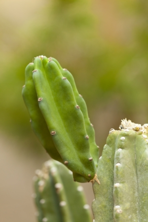 Closeup of Thornless Cactus sprout in Spring
