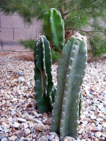 fleshy: Desert garden in Spring with fleshy cacti
