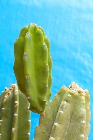Thornless Cactus sprout; Close-up