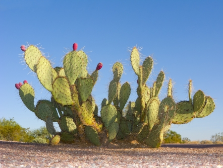 Paddle cactus with red fruits in Arizona desert Imagens