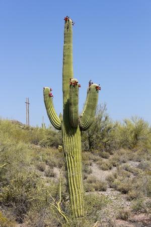 birds desert: Blooming Saguaro, Tonto National Forest, Arizona Stock Photo