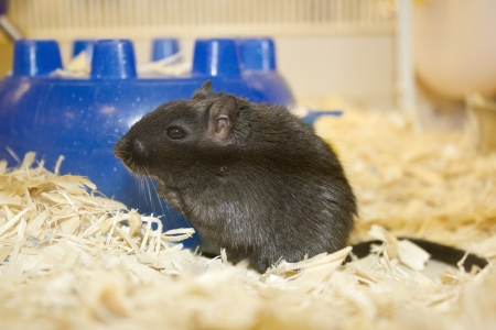 Attractive young female gerbil black color in terrarium Imagens
