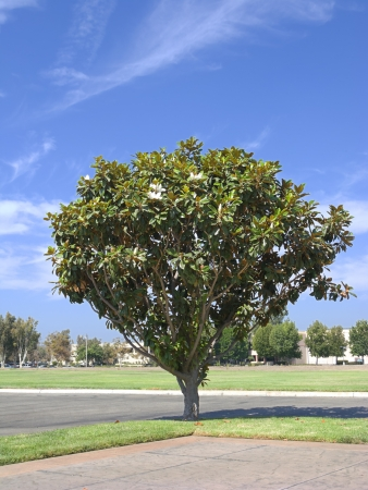 magnolia tree: Southern California Magnolia Tree Stock Photo