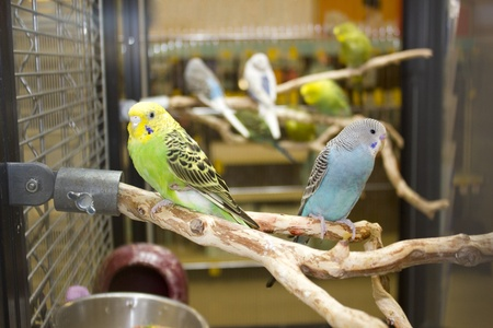 Budgies sitting on a branch in cage photo