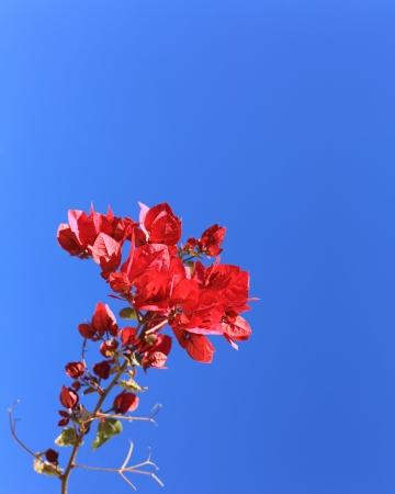 copyspace: Crimson Red Bougainvillea; Copyspace