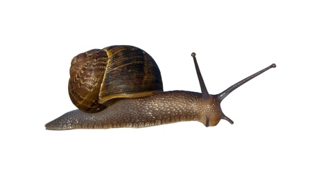 Helix snail with right-handed coiled shell; isolated Imagens - 18782605