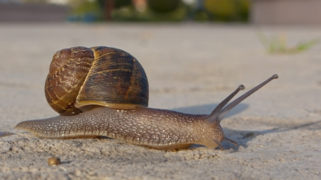 Helix snail with right-handed coiled shell