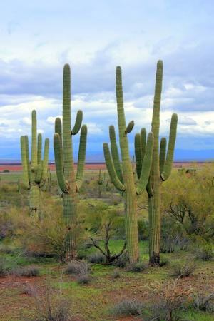 cactus desert: Arizona Saguaro in farmers backyard, Picacho, AZ Stock Photo