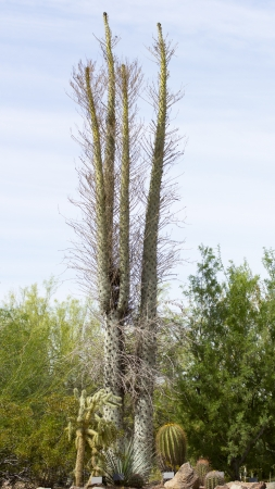 ocotillo: Boojum tree, Ocotillo Family; Baja Peninsula and Northern Mexico  Can grow to a height of 20 m