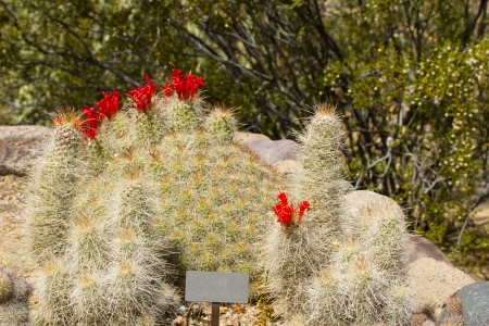 Cochemiea Setispina Cactus; Baja California, Mexico; Botanical Garden,  Phoenix, AZ Photo