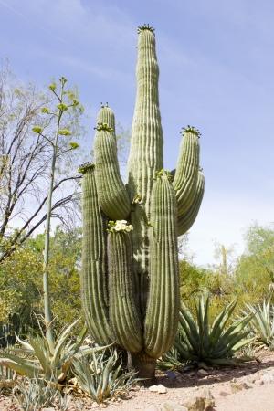 Saguaro cactus blooming; Botanical Garden, Phoenix, AZ Stock Photo
