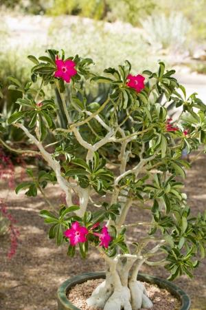adenium: Desert Rose or Adenium