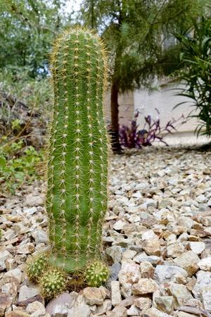 Argentina garden Trichocereus Grandiflorus cactus 版權商用圖片