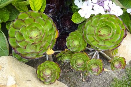Succulent plant Echeveria glauca; hotel park in California