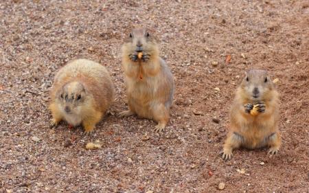 gripping hair: Three Prairie Dogs enjoying tasty peanuts Stock Photo