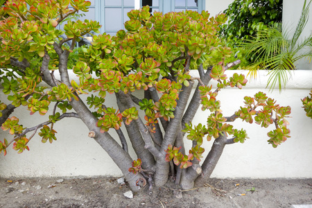 Portulacaria afra plant; popular succulent garden plant, is often used for bonsai; CA photo