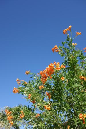 honeysuckle: Flowering Cape Honeysuckle shrub; Vertical Stock Photo
