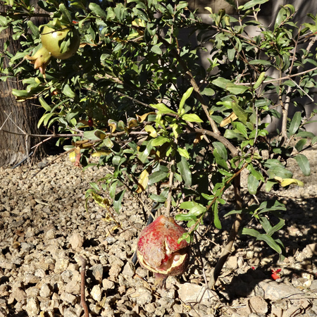 punica granatum: Crack open fruit of dwarf pomegranate on shrub