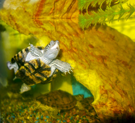 freshwater aquarium plants: Turtle swimming upward in fresh water aquarium