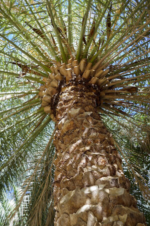 date palm tree: Ground-Up trunk and crown shot Date Palm Tree