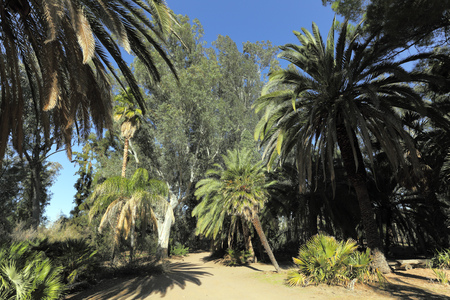 arboretum: Alley of Canary island Date palms and Australian Eucalypts in Boyce Thompson arboretum state park, AZ