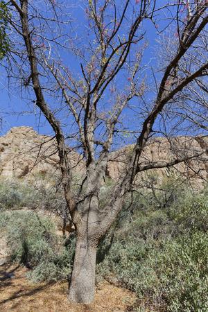 Mt Atlas Mastic Tree uit de Canarische Eilanden, Boyce Thompson Arboretum State Park; Arizona