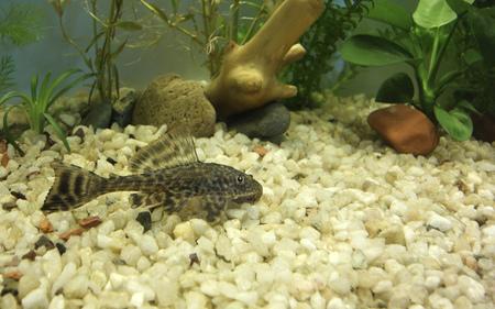 Aquarium with bottom dweller cat fish, Hypostomus Plecostomus photo