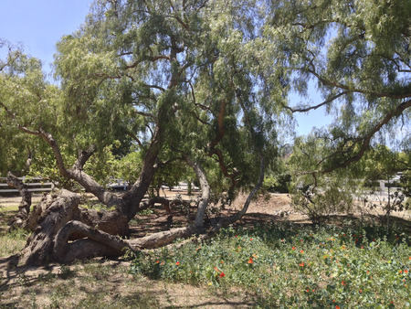 knocked over: Knocked over by wind drought-tolerant Pepper tree Stock Photo