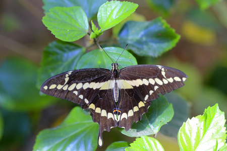 yellowish: Giant dark brown Swallowtail butterfly on hibiscus leaves, Arizona