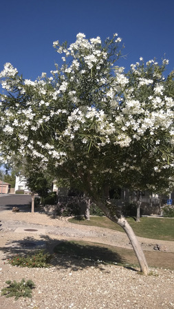 hardy: Arizona hardy white Oleander tree as an accent of desert city landscaping, Phoenix, AZ