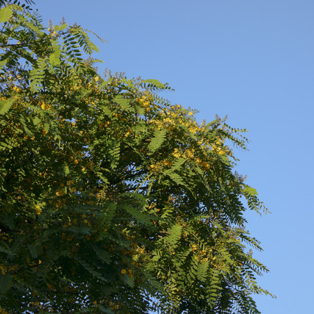 Southern California Acacia tree crown with yellow flowers