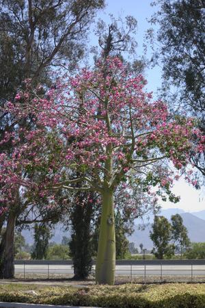 Blooming Ceiba speciosa or Floss Silk Tree also known as Palo Borracho (Drunken Stick)
