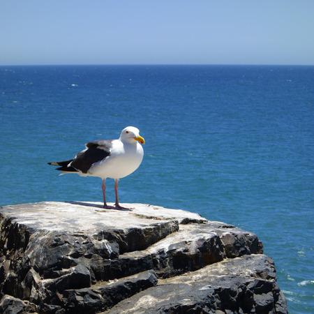 atop: Seagull atop a black rocky ocean cliff