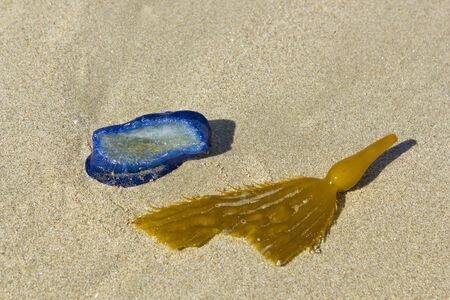 Blue Velella velella stranded on ocean beach along with Brown Kelp blade with bladder Reklamní fotografie